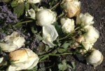Roses_3_1.0